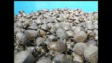 Cinco mil quelônios são soltos em Santarém; ação preserva espécies - Atividade foi realizada na tarde de sexta-feira (16), na comunidade de Água Preta, localizada às margens do Rio Amazonas.