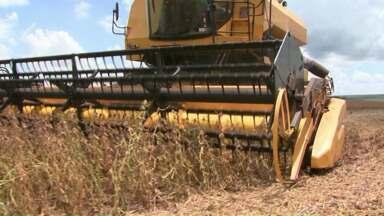 Produtores iniciam a colheita da soja no Oeste do Paraná - Algumas lavouras de soja precoce foram atingidas pela falta de chuva.