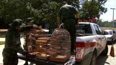 Polícia Ambiental apreende pássaros que eram vendidos em feira livre. - Polícia Ambiental apreende pássaros que eram vendidos em feira livre.