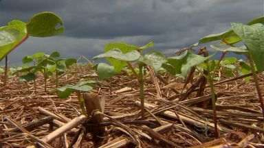 Plantio de feijão começa em Campo Verde (MT) - Mato Grosso é o terceiro maior produtor de feijão do país, atrás apenas do Paraná e de Minas Gerais.