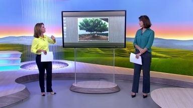 """Estudantes buscam informações sobre árvore de escola no ES - A árvore faz sombra para as crianças no pátio da escola municipal """"Criativo"""", em São Domingos do Norte. De tão querida ela tem até um nome: """"verdinha""""."""
