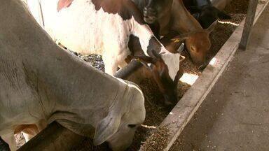 Aprenda a cuidar da Mastite, uma doença que ataca o gado e dá muitos prejuízos - A doença tem tratamento se for identificada a tempo, veja como cuidar desse problema.
