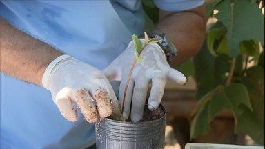 Biólogo da Embrapa ensina a produzir muda de pequi - A muda deve ser levada ao campo no começo da estação chuvosa. O fruto só dá para colher depois de uns cinco ou seis anos.