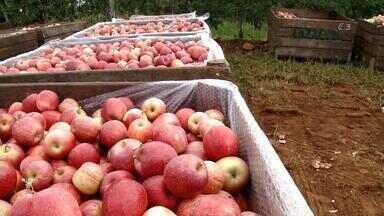 Vacaria, RS, deve ser responsável por 24% da produção nacional da maçã - Assista ao vídeo.