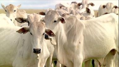 Mercado do boi gordo vive momento de bons preços - Maior alta de toda a cadeia produtiva está na reposição dos animais para a engorda.