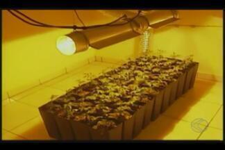 Homem é preso com estufa de maconha em casa em Patos de Minas - Polícia Civil chegou até criminoso através de denúncia anônima. Suspeito assumiu propriedade de cerca de 40 mudas da planta.