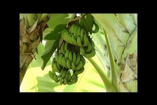 """Produtores de MG investem na produção de banana para ampliar negócios para exterior - Fruta é considerada """"ouro verde"""" do norte do Estado. Região é maior produtora de banana prata do país e gera cerca de 10 mil empregos diretos."""