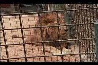 Moradores pedem que leão de zoológico em Uberlândia seja transferido - Petição foi feita depois de fotos do animal que circularam pela internet. Segundo diretoria, 'Léo' vai completar 19 anos e está sendo bem tratado.