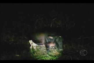 Vaca é atingida por carro em distrito de Patrocínio, MG - Segundo a PRF, o animal atravessou a pista de repente. O motorista não se feriu. Já a vaca teve ferimento na pata esquerda. O dono do animal não foi localizado.