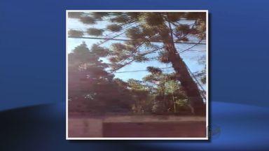 Árvore araucária é cortada em terreno particular em Poços de Caldas (MG) - Árvore araucária é cortada em terreno particular em Poços de Caldas (MG)