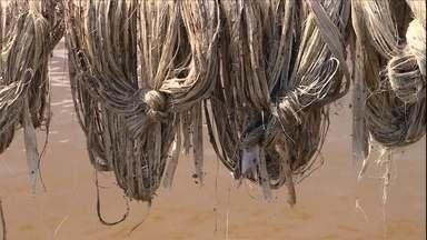 Produtores de malva do AM enfrentam novos problemas com a safra - A cheia do rio Solimões destruiu muitas plantações de malva. A fibra é usada principalmente na fabricação de sacaria.