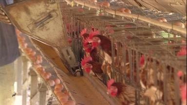 Criador explica como iniciar uma criação de galinha poedeira - É preciso mais de um barracão para abrigar as galinhas em diferentes fases. Isso facilita o manejo, já que em cada fase da vida, as galinhas dependem de temperaturas diferentes e alimentação especifica.