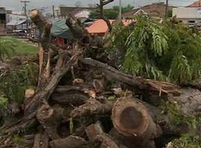Árvores são derrubadas no centro de Altinho, no Agreste - Motivo da derrubada seria a construção de uma praça. Ação não agradou os moradores.