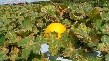 Escassez de chuva prejudica cultivo do melão no RN - Falta de água para irrigação leva fazendas a interromper a produção.