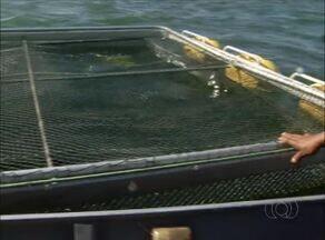 Produção de peixe no Tocantins deve crescer em 2015 - Produção de peixe no Tocantins deve crescer em 2015