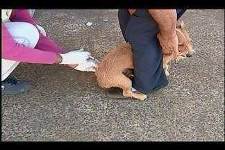 Campanha de Vacinação Antirrábica é iniciada na área urbana de Uberaba. - Cães e gatos domésticos devem ser imunizados. Ação na zona rural começou na última semana.