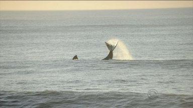 Baleia e filhote aparecem no mar da Praia do Morro das Pedras, no Sul da Ilha - Baleia e filhote aparecem no mar da Praia do Morro das Pedras, no Sul da Ilha
