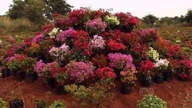 Produtores de Goiânia cultivam bougainville para vender para vários estados - Produção é feita na área urbana da capital. Vinte mil mudas das flores ocupam sete hectares.