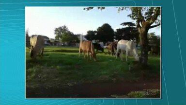 Bois soltos assustam crianças no bairro Cafezal - Eram pelo menos 15 cabeças de gado pastando num campinho do bairro.