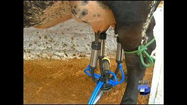 Primeira ordenha do Torneio Leiteiro é realizada na 38ª Feira Agropecuária em Santarém - Serão dois dias de competição. A vaca e novilho que produzirem mais leite serão os campeões.