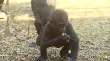 Gorilinha nascido em zoológico de Belo Horizonte comemora aniversário de um ano - Sawidi é o primeiro da espécie a nascer em cativeiro na América do Sul, segundo a instituição.