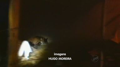 Bombeiros capturam lobo-guará em Franca, SP - Animal apareceu no meio da rua no bairro Jardim Vera Cruz e entrou em um terreno baldio.