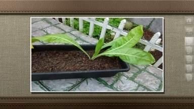 Almeirão cresce em jardineira cultivada com sementes de aipo e salsa - Segundo o agrônomo Chukichi Kurosawa, provavelmente as sementes do almeirão estavam misturadas às de salsa e aipo que foram plantadas pela Rosane Coutinho, do Rio de Janeiro.