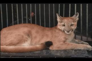 Onça é capturada na zona rural de Patrocínio - Suçuarana comeu dois animais de estimação dos donos da fazenda. Polícia Militar de Meio Ambiente capturou a onça e foi levada para outra parte da natureza.