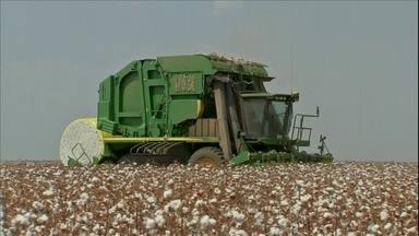 Mais de 75% da área plantada de algodão já foi colhida no MT - Colheita do algodão em Mato Grosso está no final. Qualidade da pluma anima os agricultores.