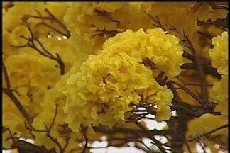 Especialista explica falta de flores dos ipês amarelos em Uberlândia - Tempo seco não tem relação com a pouca quantidade de flores. Floração vai de julho a outubro, segundo geógrafo.