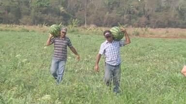 Produtor investe na produção de melancia e colhe 10 toneladas - Fruto está sendo produzido de forma orgânica, sem agrotóxicos.