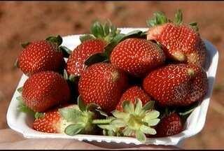 Produtor rural do Norte de Minas aposta na produção de morango agroecológico - O fruto tem um sabor diferenciado e mercado garantido.