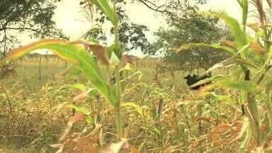 Falta de chuva prejudica silagem na região da Bacia Leiteira de Alagoas - A falta de chuva na região da Bacia Leiteira de Alagoas está prejudicando a silagem destinada aos animais. Situação preocupa os produtores rurais.