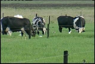Após período de chuva, pasto fica verde no Norte Fluminense e gado tem alimentação melhor - Perído de seca atinge a região deade o ano passado.