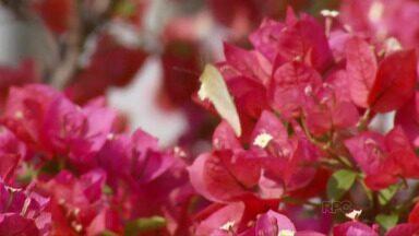 Primavera: Árvores florescem e ruas ficam coloridas em Foz - As cores encantam moradores e turistas que passam pela cidade.