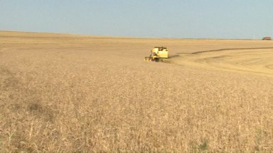 Agricultores colhem o trigo, mas guardam o produto - Eles esperam que o preço aumente para vender os grãos.