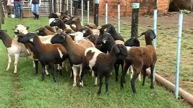 Produtores investem na criação de ovinos para fugir da crise em Jales, SP - Para não serem afetados pela crise econômica, produtores de Jales (SP) estão investindo agora na criação de ovinos. O motivo é que além de dar um bom retorno, esse tipo de animal não precisa de muito espaço para ser criado.