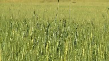 Emater estima redução de 10% na produção de trigo - Assista ao vídeo.