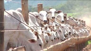 Começa segunda etapa da campanha de vacinação contra febre aftosa no Maranhão - Começou a segunda etapa da campanha de vacinação contra a febre aftosa. Em todo o Maranhão, devem ser imunizadas mais de sete milhões de bovinos e bubalinos. Em Balsas (MA), os criadores estão sendo orientados pela Aged.