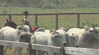 Apenas 44% dos produtores rurais de Cacoal declararam vacinação contra febre aftosa - Gerente de Defesa Sanitária Animal da Idaron, Fabiano Alexandre, falou sobre a importância da vacinação.