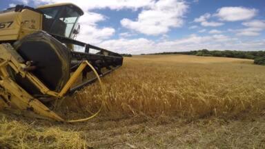 Clima prejudica colheita da cevada no Paraná - A área de cultivo é a mesma da safra anterior, 49 mil hectares, mas a produtividade está menor