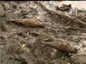 Problemas ambientais são principais prejuízos causados pela lama de Mariana no Vale do Aço - Peixes morreram e captação de água não foi normalizada completamente.