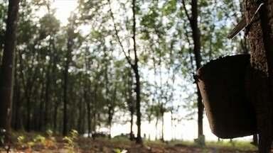 Chuvas favorecem produção de borracha - A área de plantio de seringueiras aumentou no Estado de São Paulo. São quase 58 mil hectares, enquanto em 2014 era de 56 mil. A chuva antecipou a safra em dois meses. No ano passado, as árvores começaram a ser sangradas em novembro e dezembro. Este ano a maioria dos seringais está produzindo desde setembro.