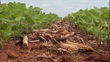 Tempo afeta o início do plantio da soja em MT e no MS - Nos dois grandes estados produtores de soja, Mato Grosso e Mato Grosso do Sul, o plantio está atrasado.