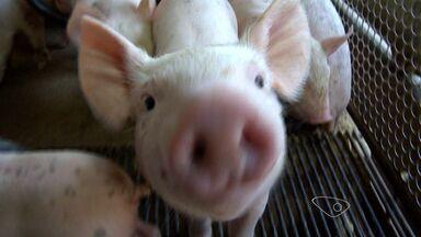 Produção de porcos no ES passa de 25 mil cabeças por mês - Toda a produção vai para o mercado interno, uma atividade que gera 4 mil empregos diretos e indiretos.