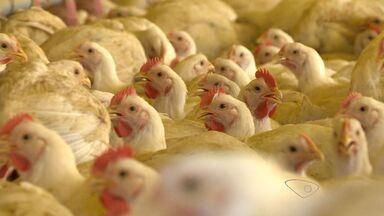 A força do agronegócio destaca a avicultura no ES - Veja como funciona a criação de aves e produção de ovos. Uma atividade que emprega 18 mil pessoas.