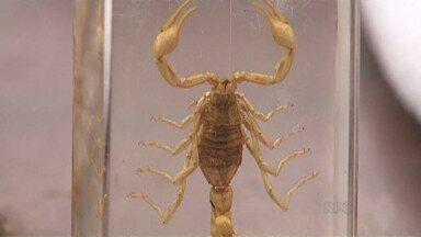 Cuidado com os escorpiões nesta época do ano - Os animais ficam mais agitados nesse período de calor e chuvas.