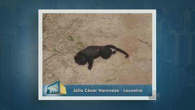 Morte de macacos preocupa moradores de Louveira - A morte de macacos bugios tem causado preocupação em Louveira (SP). O telespectador Júlio César Veroneze explica o que anda acontecendo por lá.