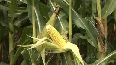 Chuvas afetam produção agrícola em Santa Catarina - Chuvas afetam produção agrícola em Santa Catarina