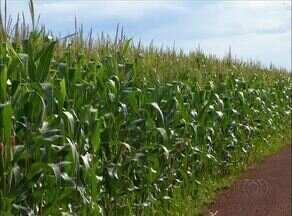 Milho está escasso no Tocantins; produtores buscam produto em outro estado - Milho está escasso no Tocantins; produtores buscam produto em outro estado